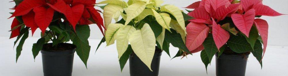 Pointsettia-Euphorbia-3-kl